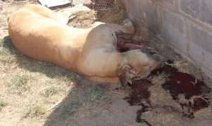 Brigadier Maaparankoe Mahao's dog was shot dead during the attack.