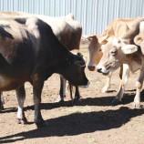 Mokhotlong dairy farmers dream big