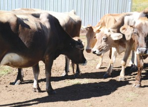 Mokhotlong dairy farmers dream big